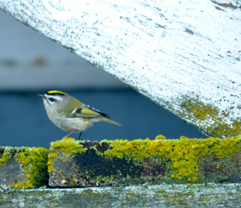 Out of its usual habitat, high in conifers, this little Golden-crown Kinglet is loading up on insects on the outside of the eco-guardians house.