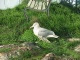 Broken wing seagull