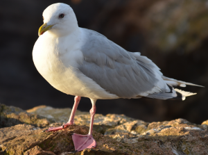 Thayer's Gull conveniently holding still for a photo.