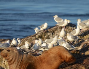 A mix of Thayers and Glaucous-winged gulls roosting near a Stellers Sea Lions.