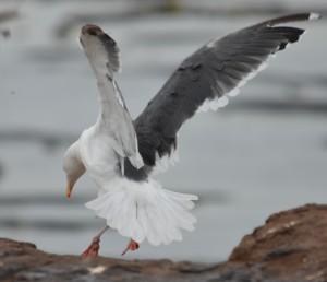 Western Gull landing.