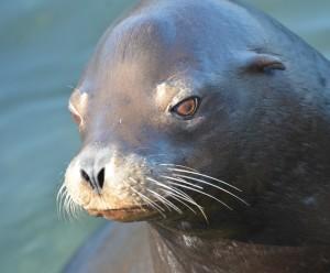A very clean looking California Sea Lion.
