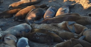 Here are three partial brands on California Sea Lions, a typical shot.