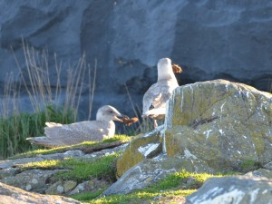 Gulls standing around practicing holding things in their bills.