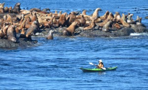 The ebbing tide is sweeping this kayaker a little too close to the Stellers Sea Lions.