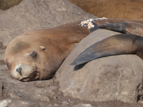 Warning gross content. If you look closely you will see salmon bones all over the back of the sleeping California Sea Lion in the background. Guess where that came from?