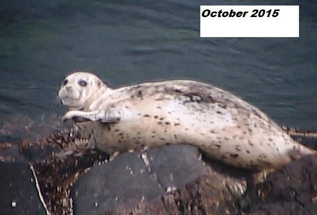 sixspot-harbourseal