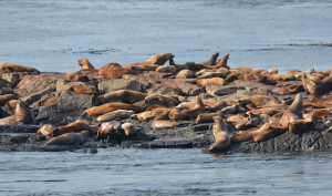 Stellers Sea Lions hauled out and tranquil on Middle Rock.