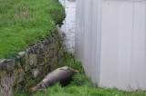 Elephant Seal sleeping behind the water shed
