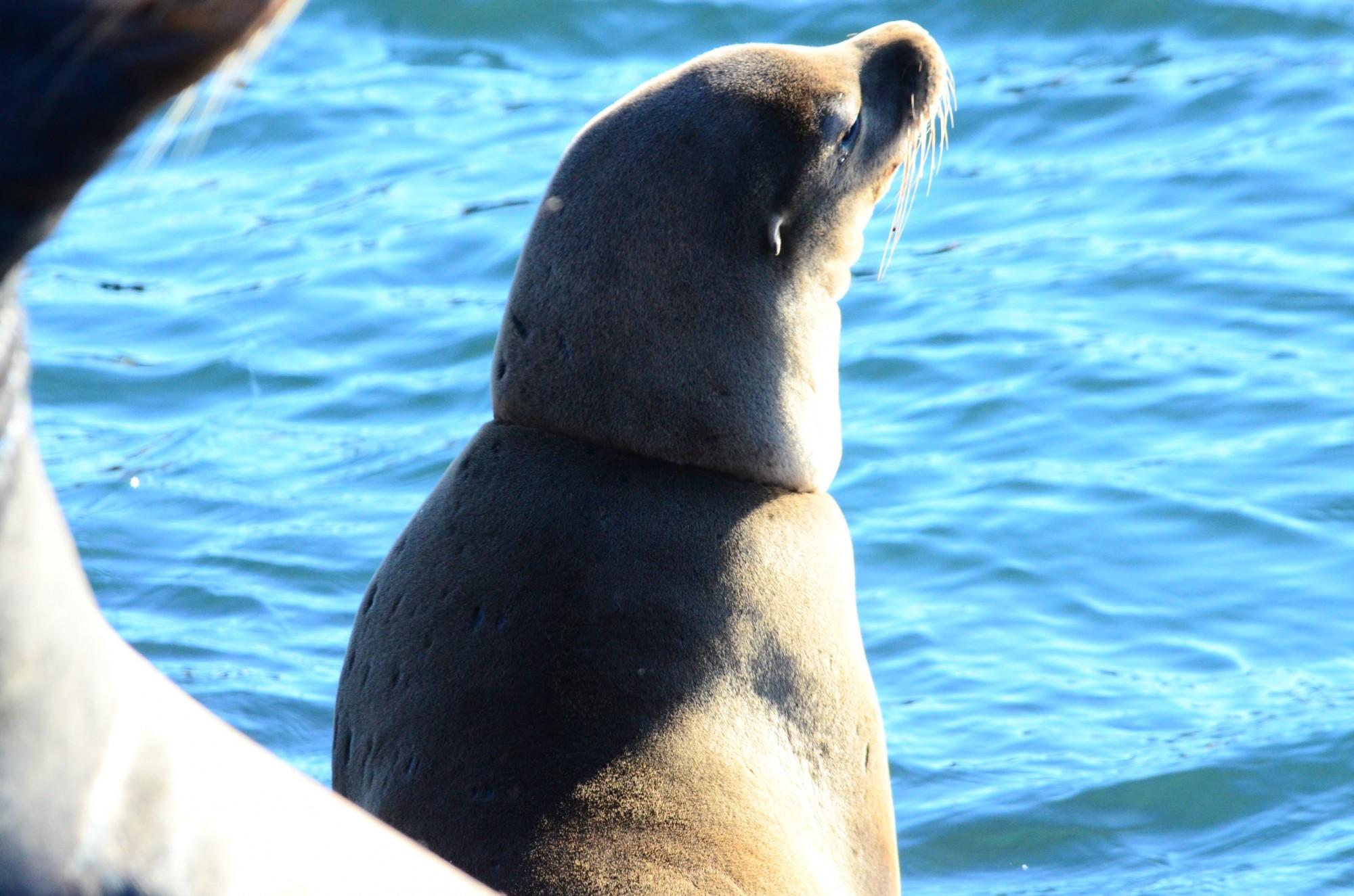 Necklaced sea lion