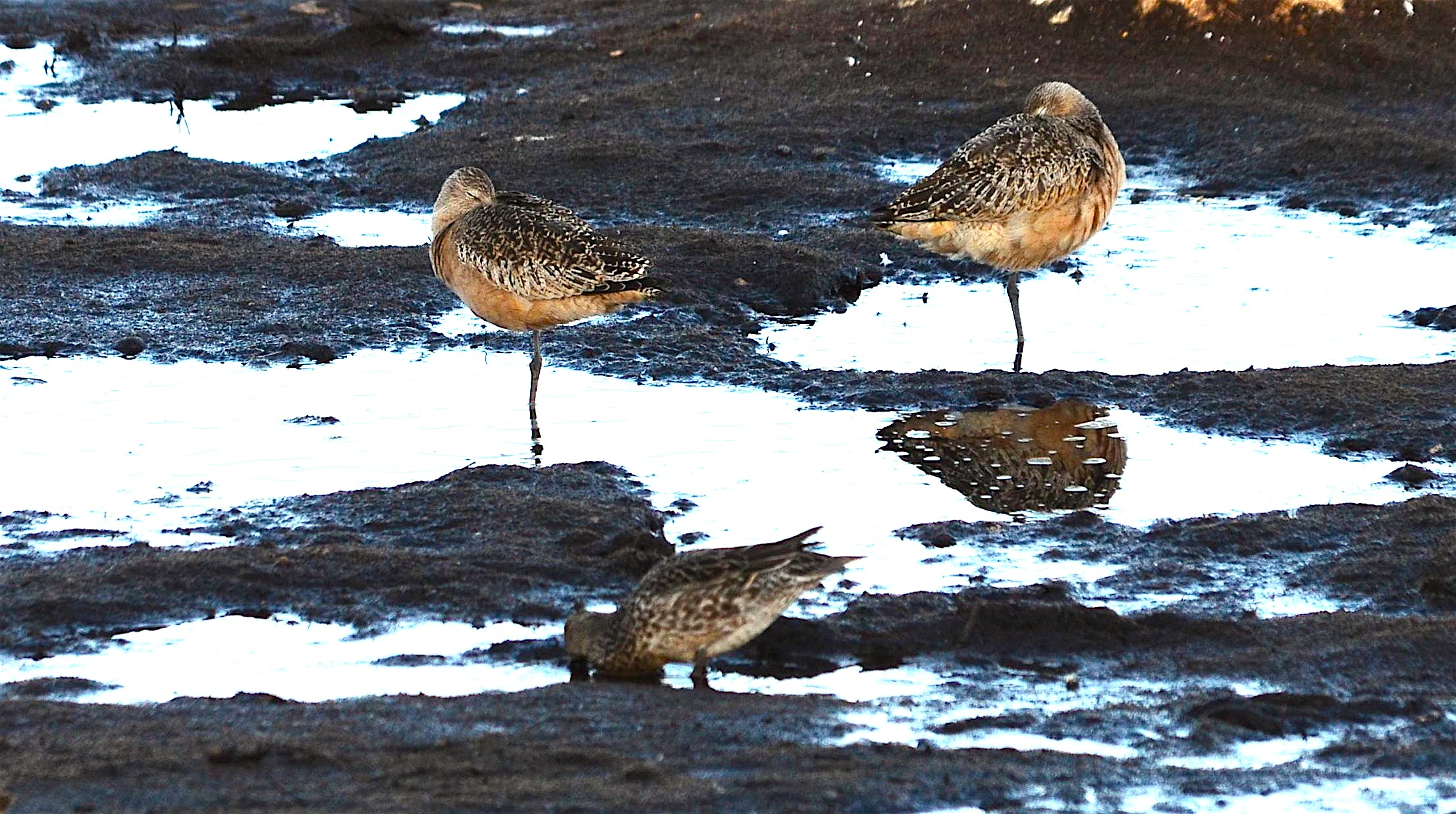 Three godwits in the reserve today