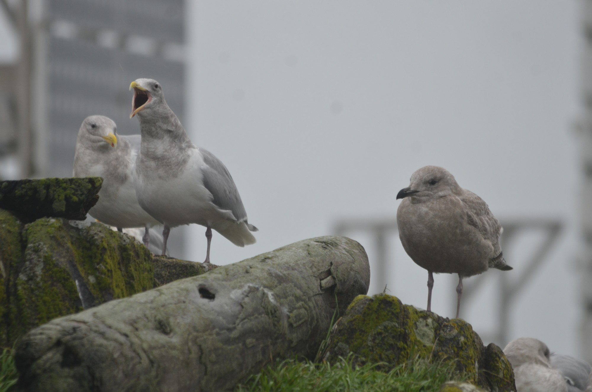 Adult (left) and immature (right) Thayer's Gulls