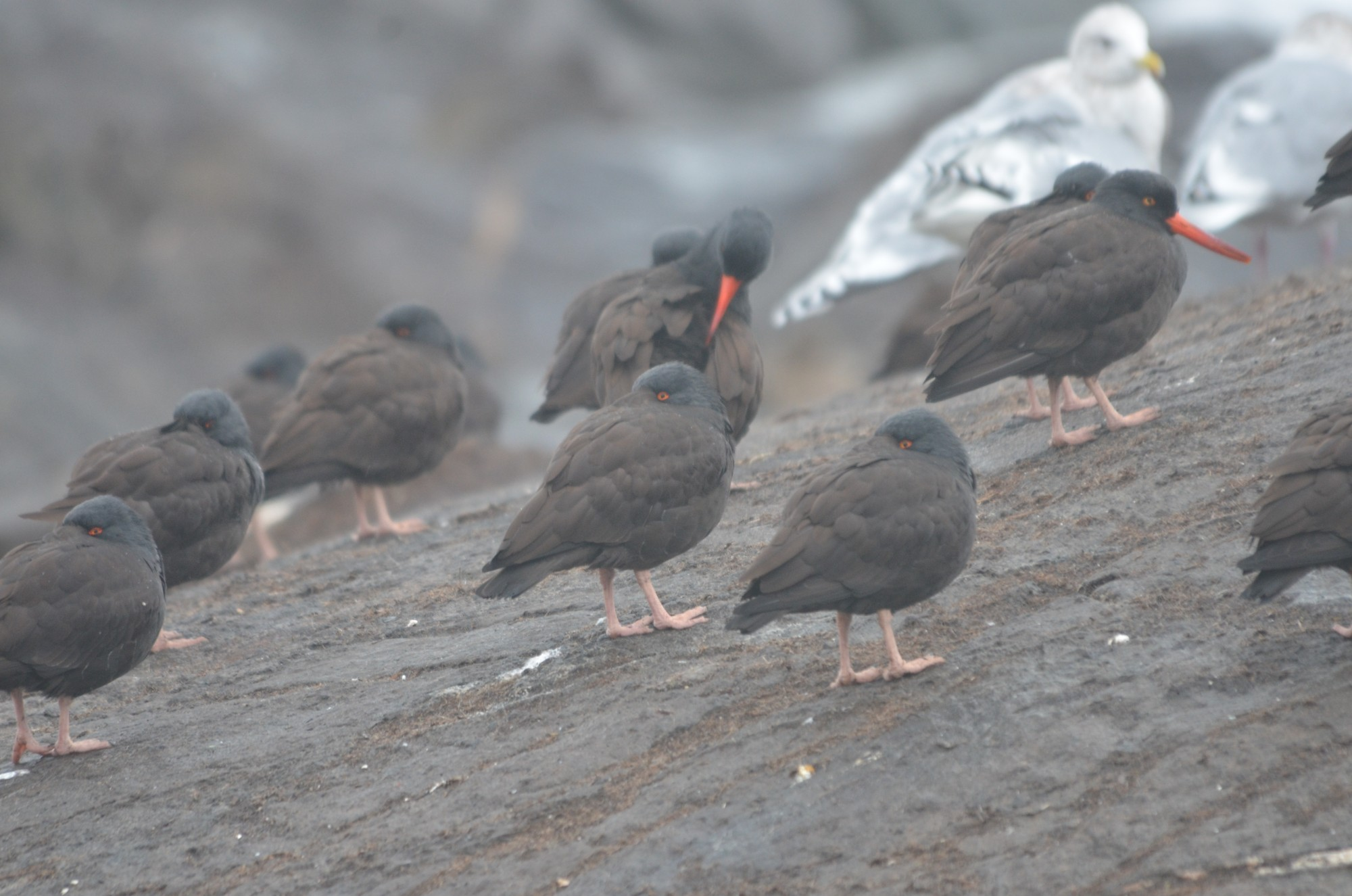 Black Oystercatchers preening and hiding from the wind