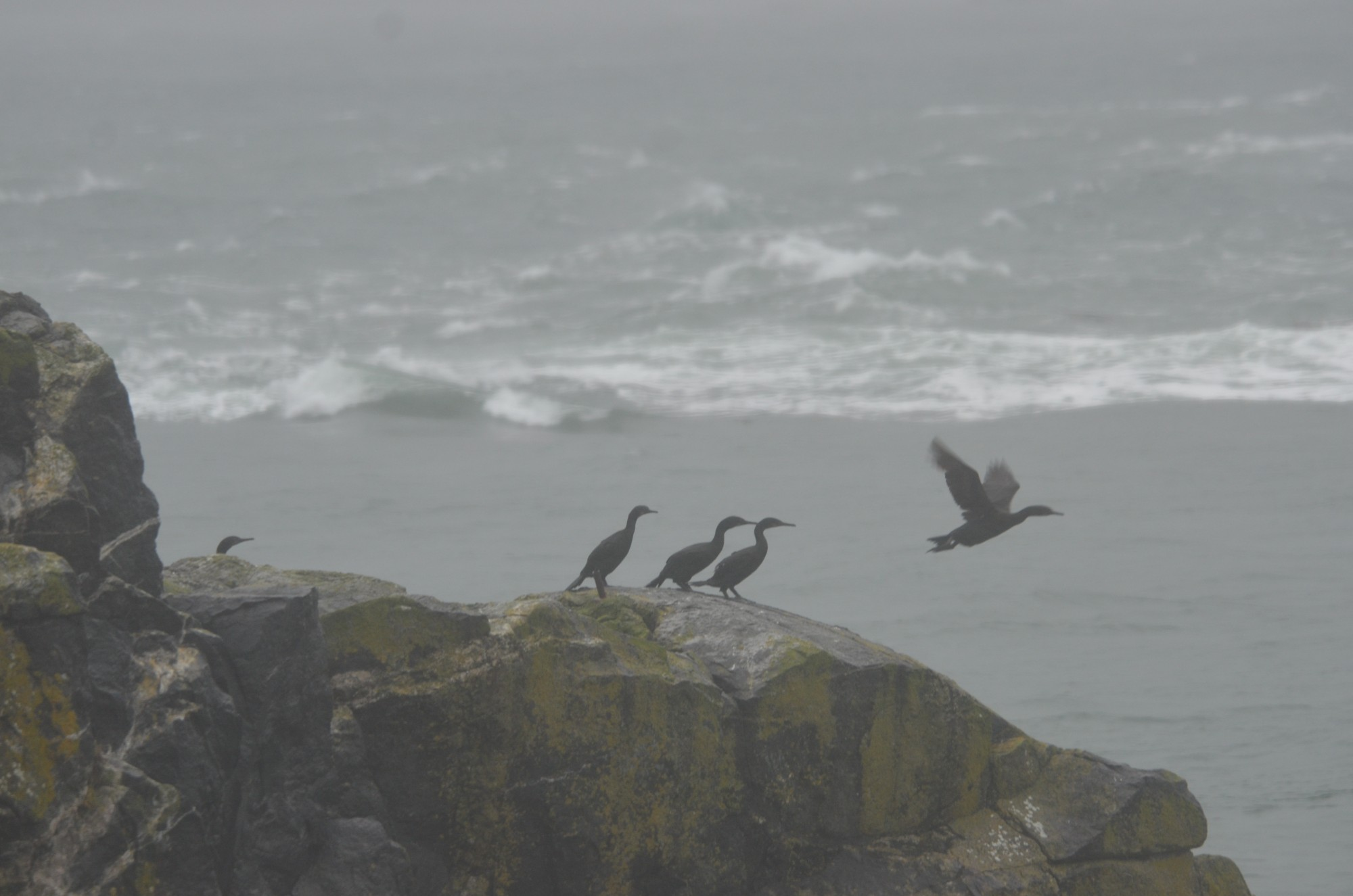 Brandt's Cormorants making a break for more sheltered area