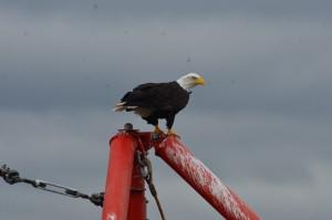 Buffeted Bald Eagle