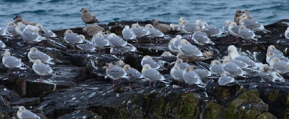 Christmasbirdcount-gulls2