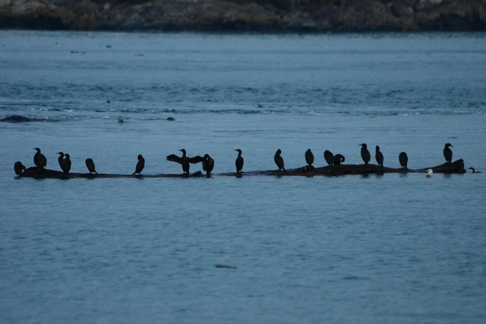 Cormorants taking a rest on some drift wood
