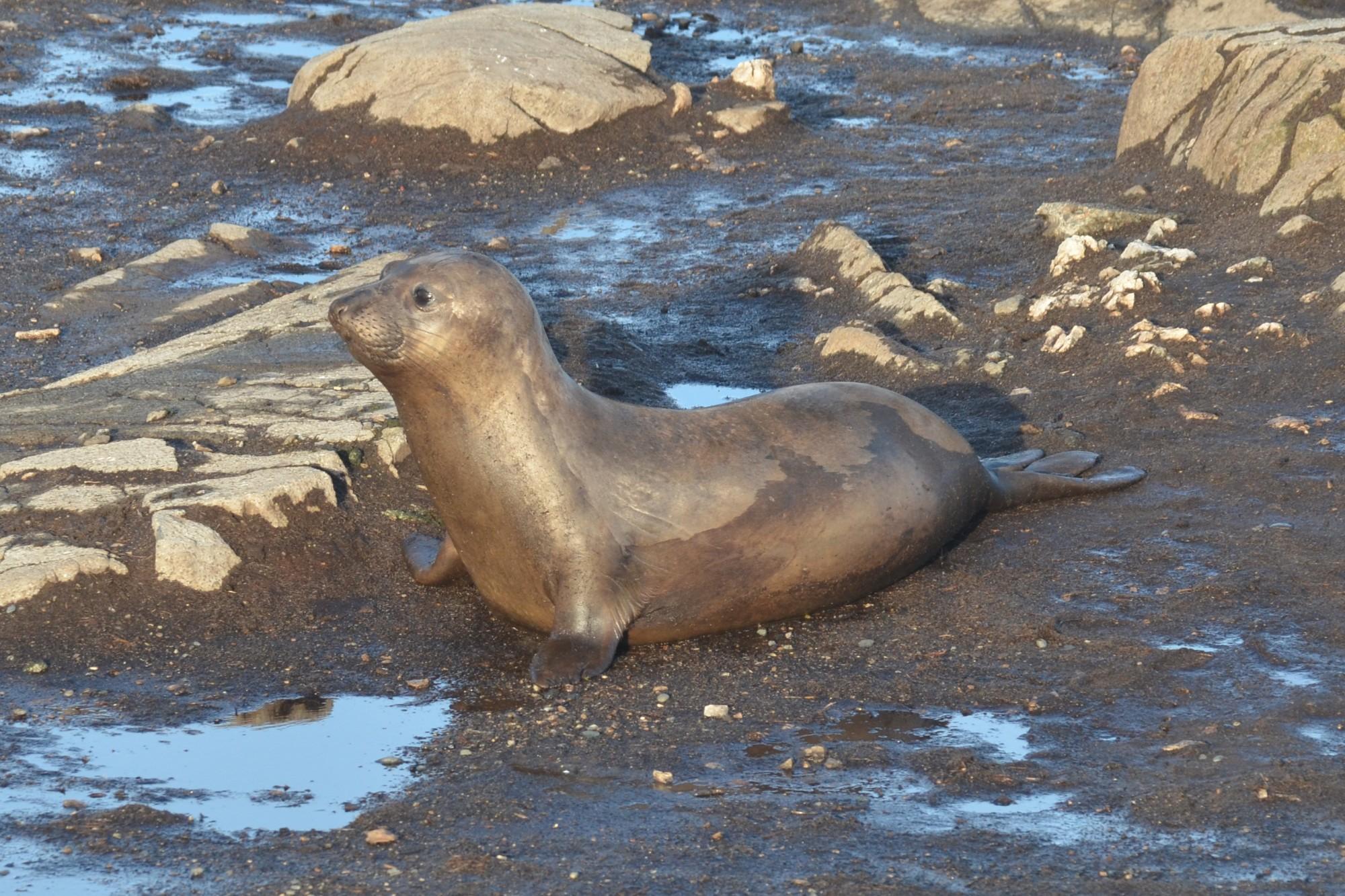 New Elephant seal