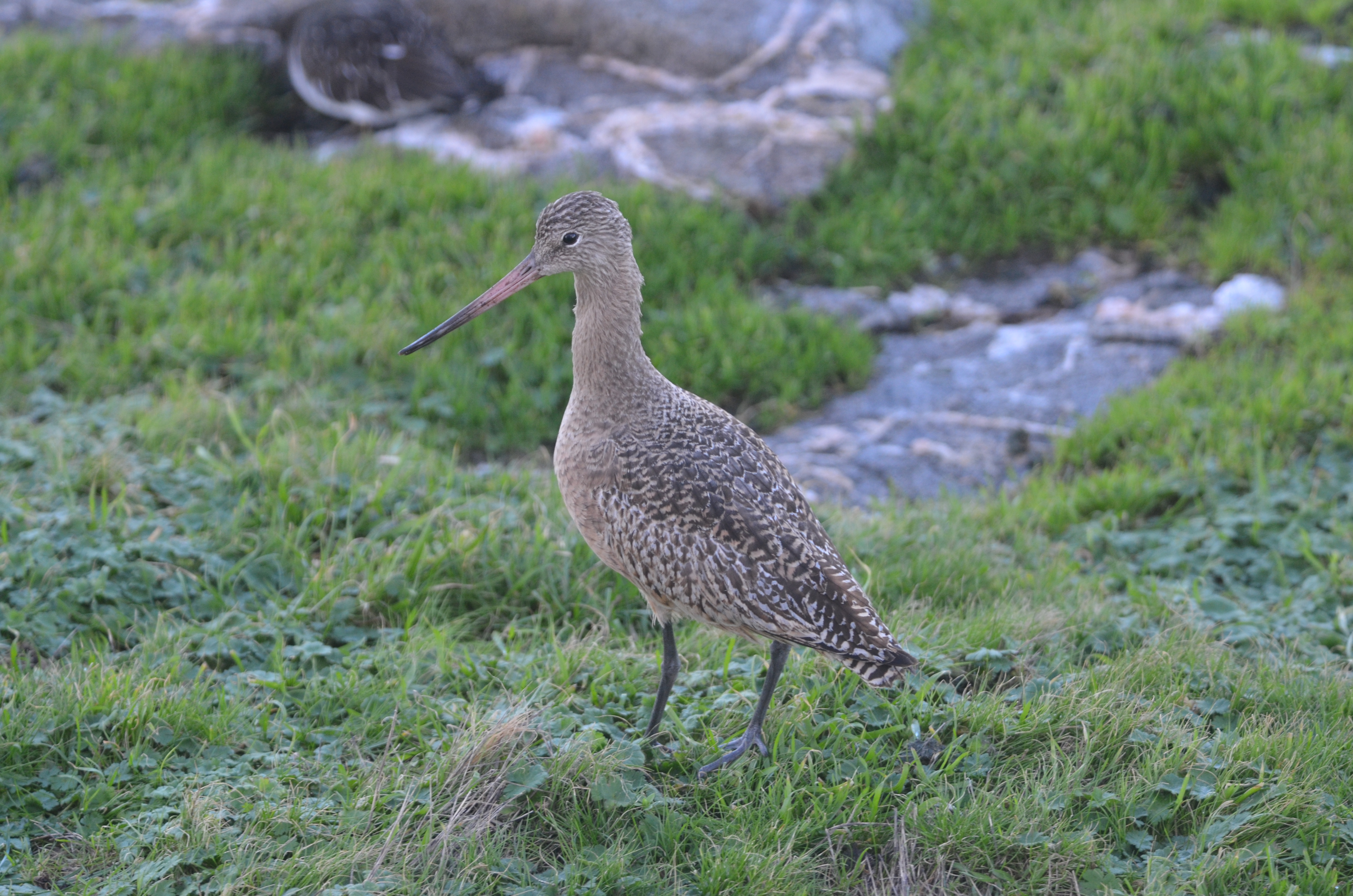 Marbled Godwit still around the main island