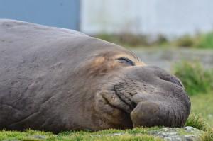 Elephant Seal Snoozing