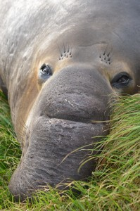 Elephant seal hiding from the storm