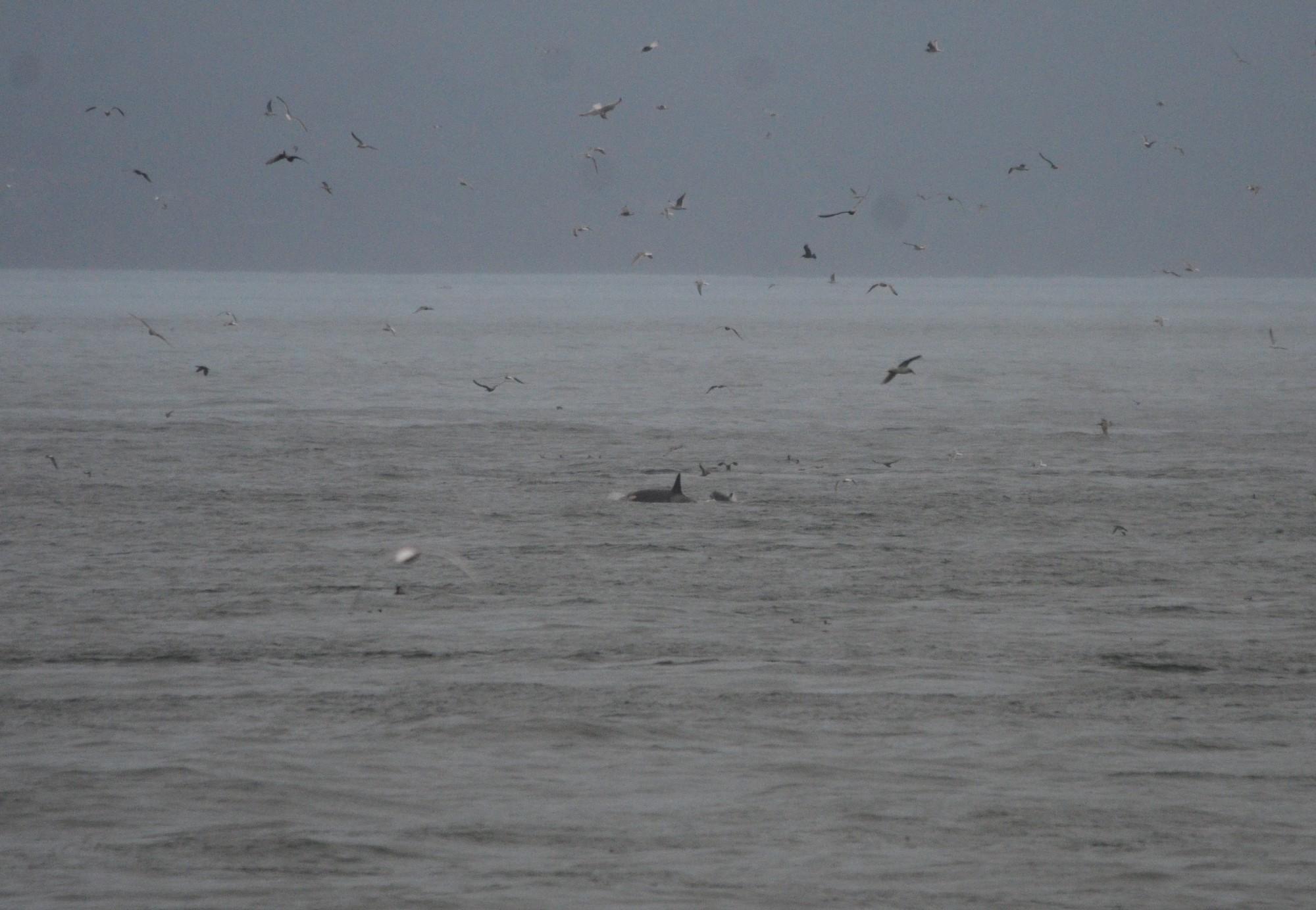 Female Orca and calf