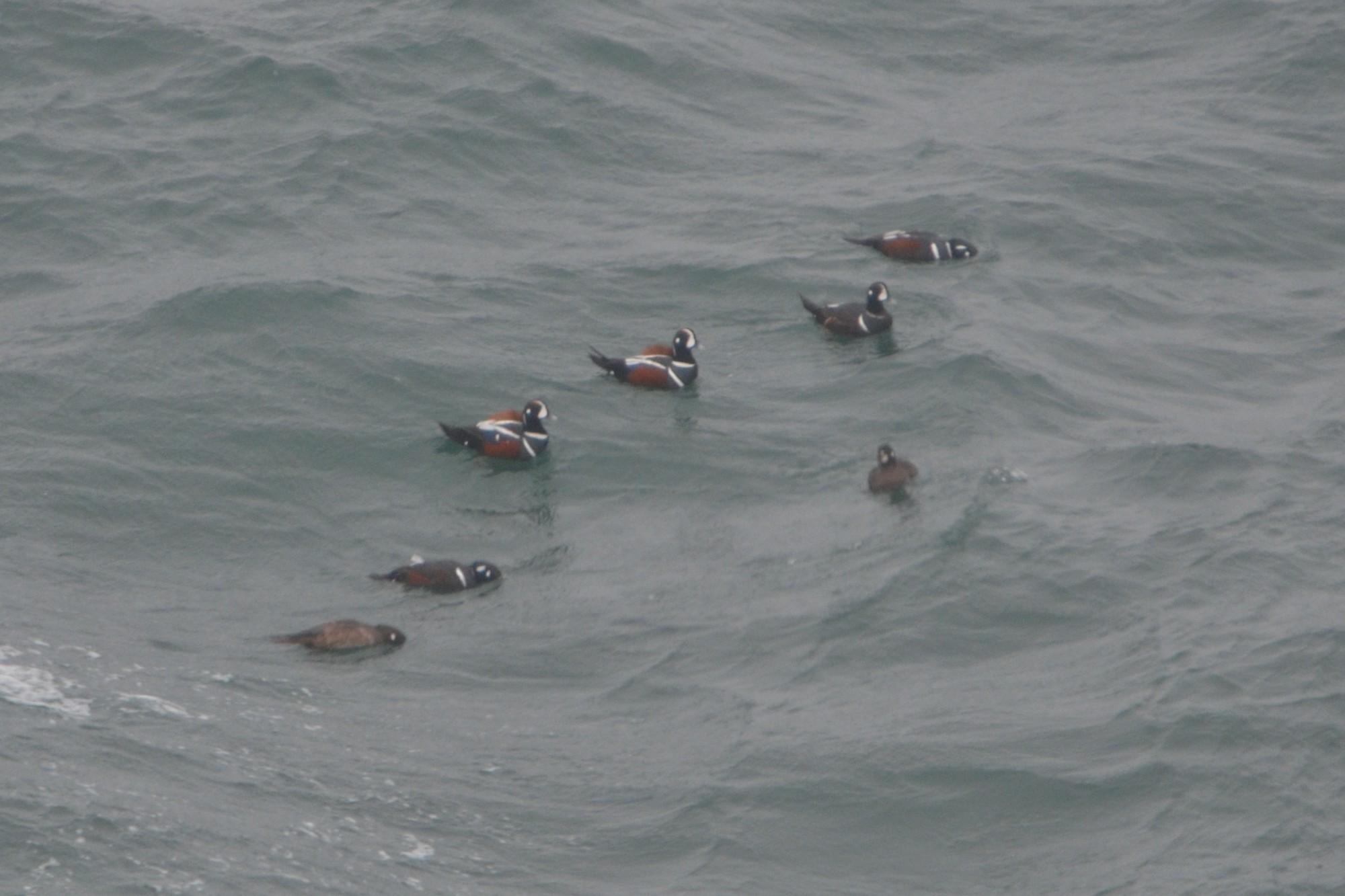 Group of harlequin ducks