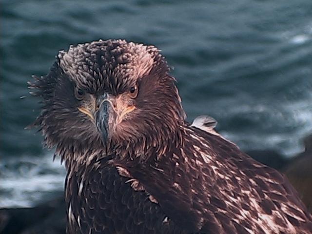 Juvenile Bald Eagle1