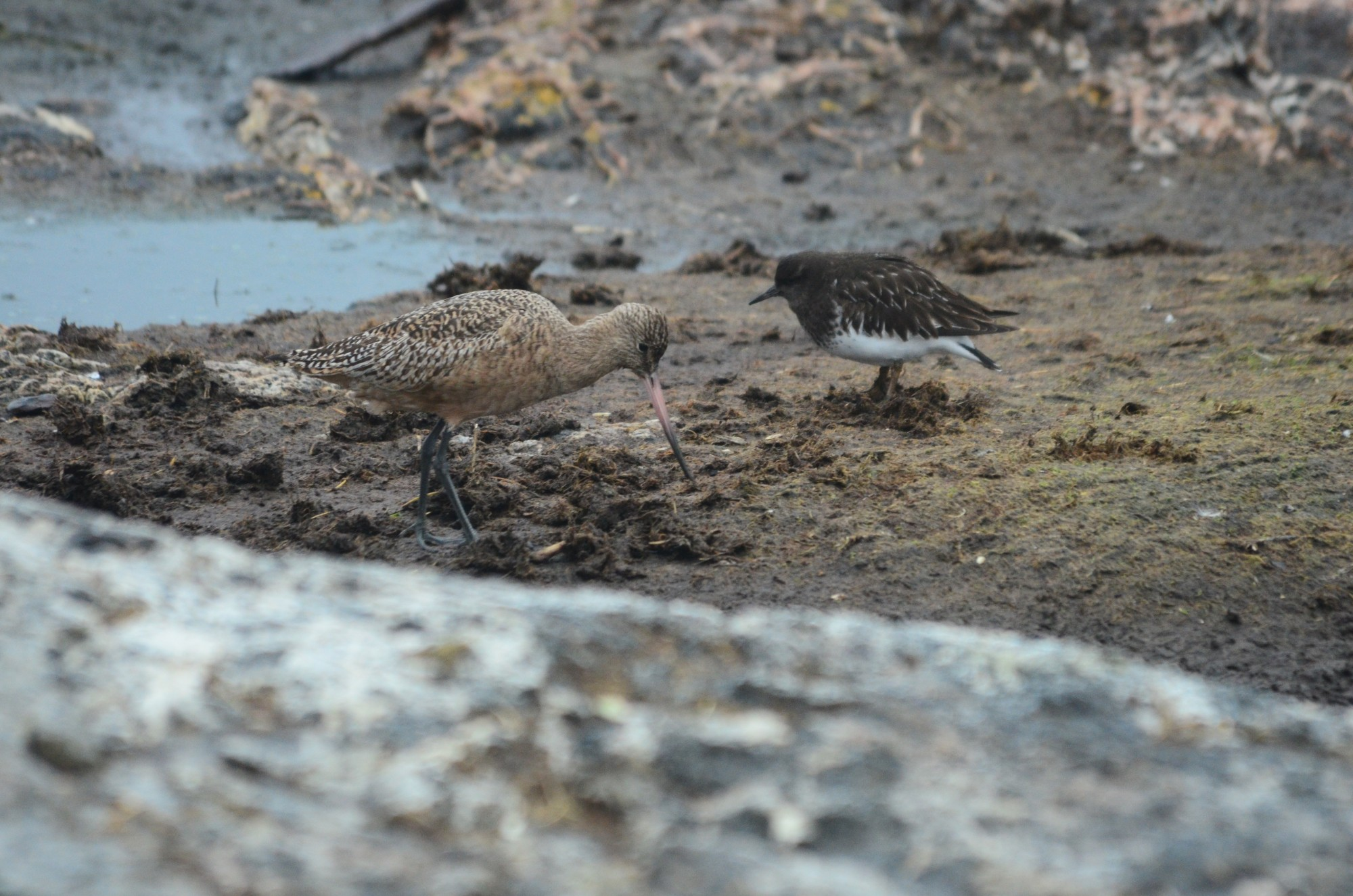 Marbled Godwit and Black Turnstone
