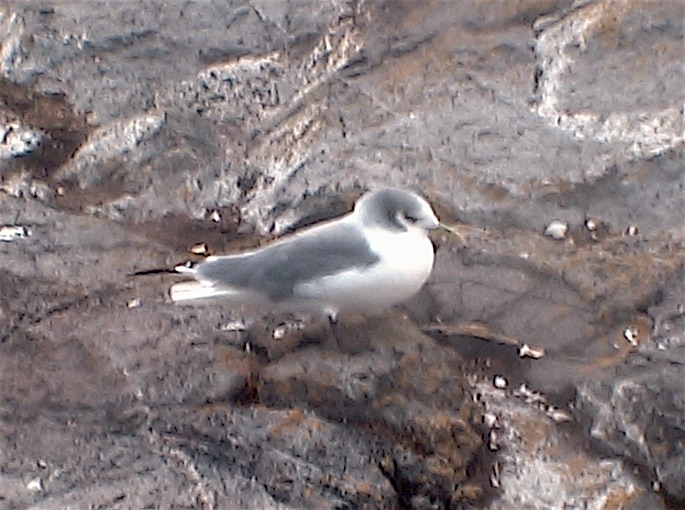 PB-Black-legged -Kittiwake2