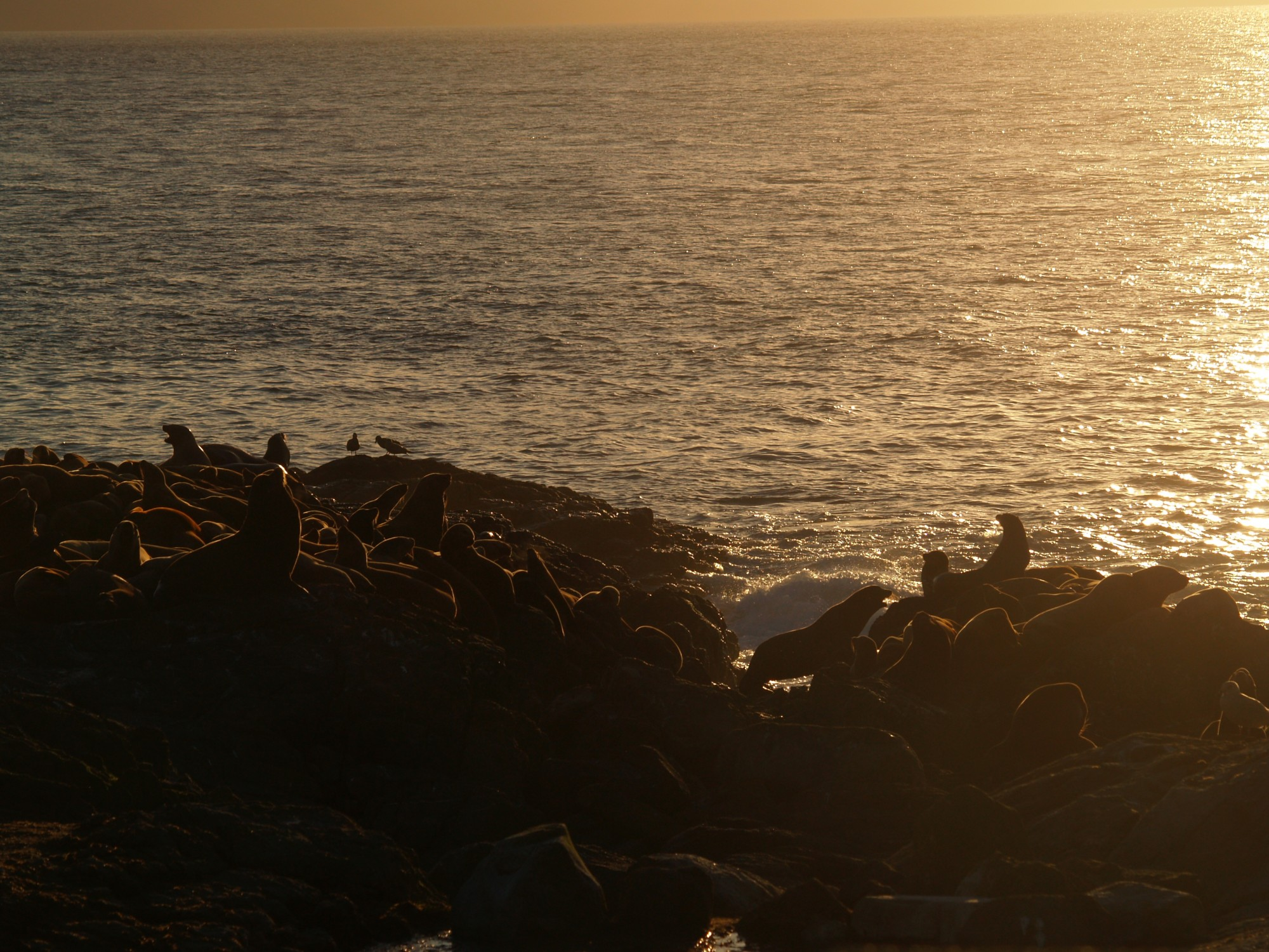 Sea lions at sunset