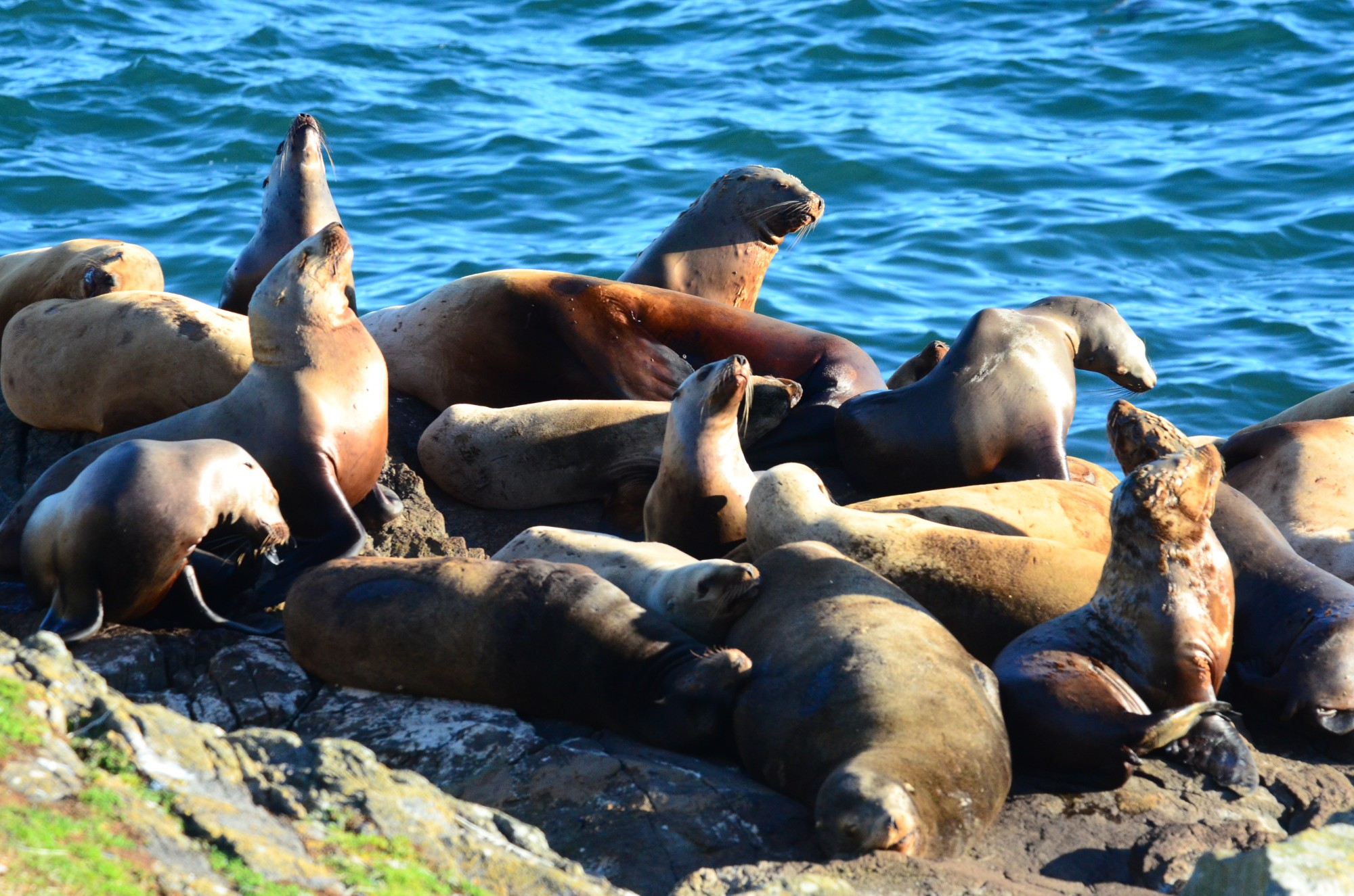 Sea lions looking shabby, but just molting