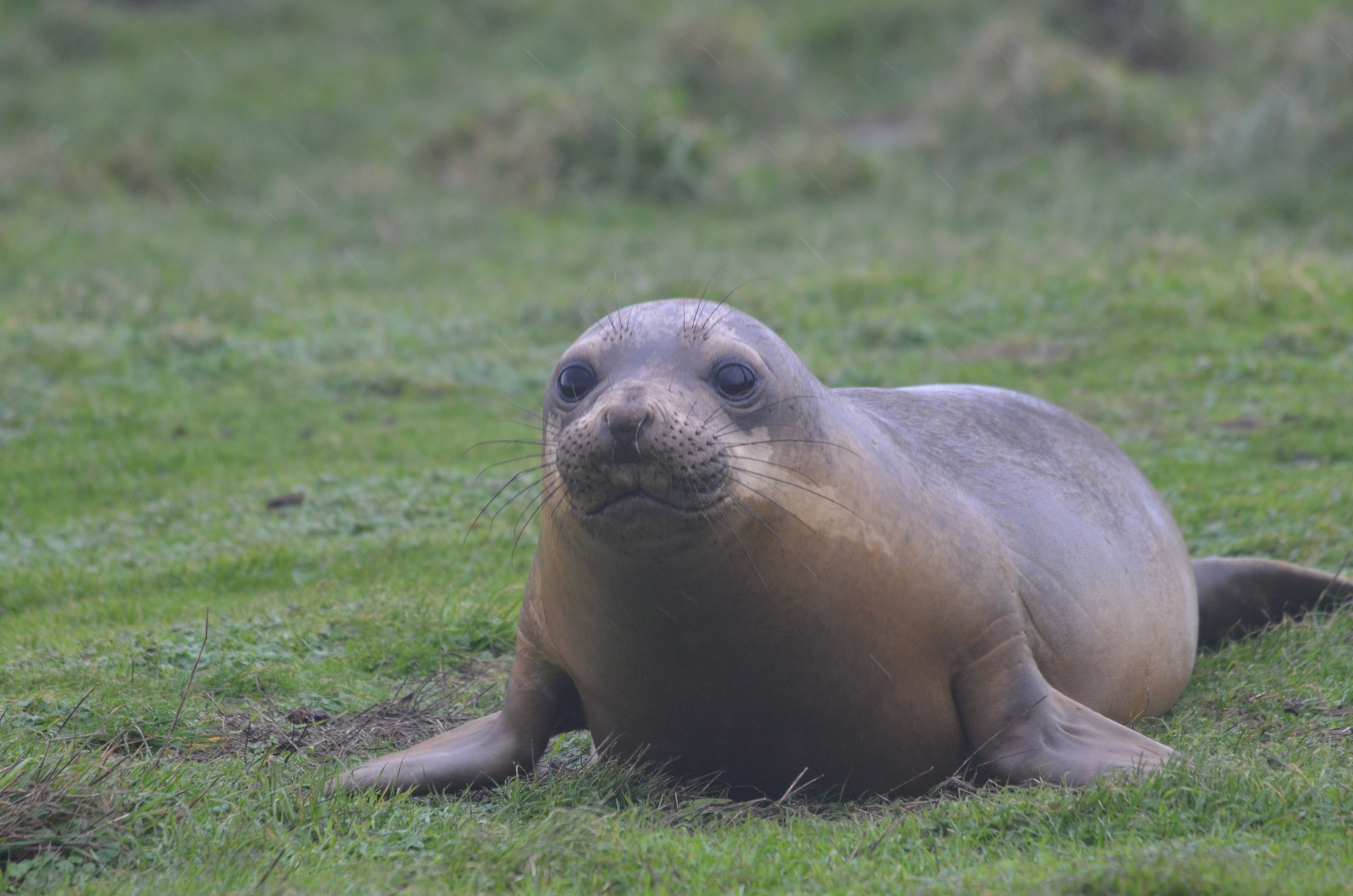 Small Elephant seal looking for female