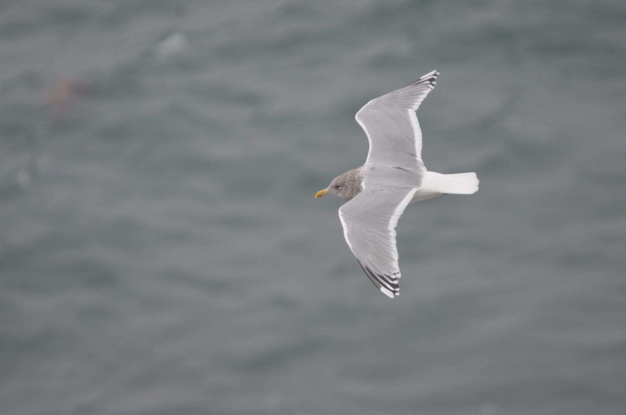 Thayer's Gull in flight