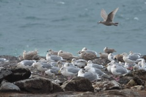 Thayer's gulls hunkered down