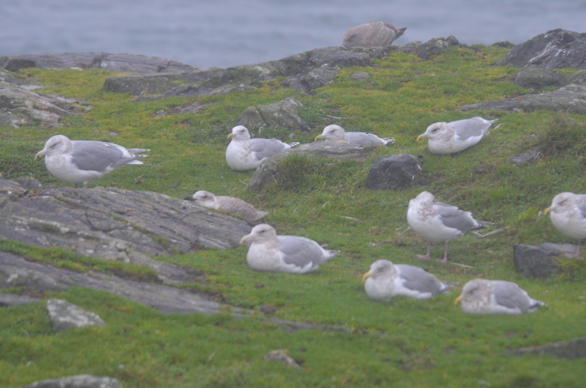 Thayer's gulls sitting it out