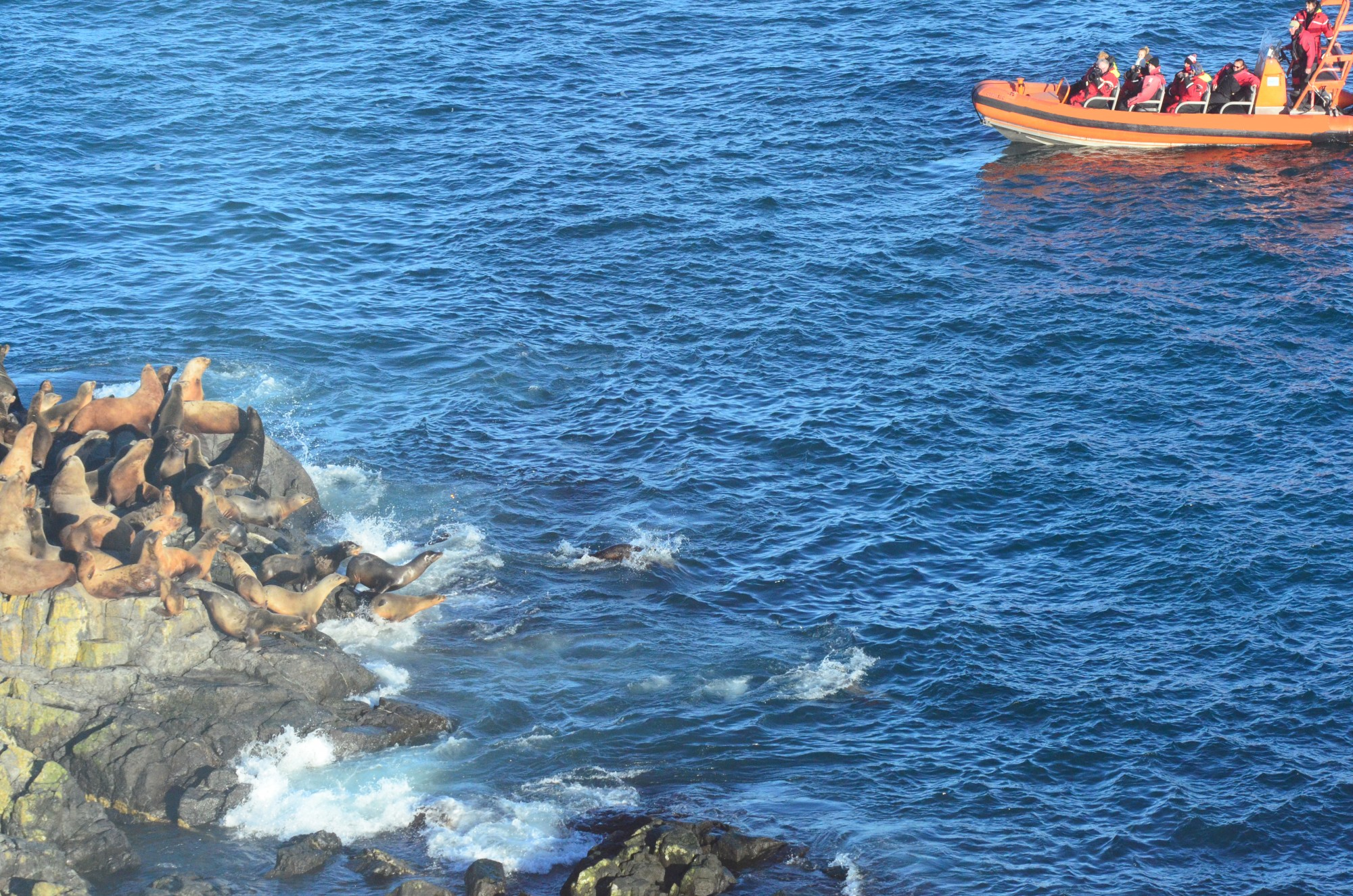 Whale watching boat comes too close and causes Sea lions to stamped