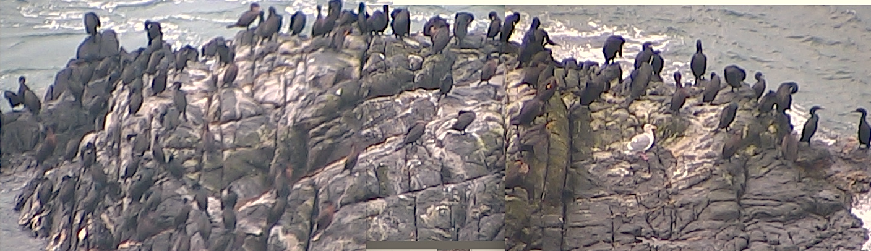 cormorantsDec27-2015