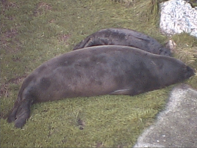 Mother elephant seal and 10 day old pup