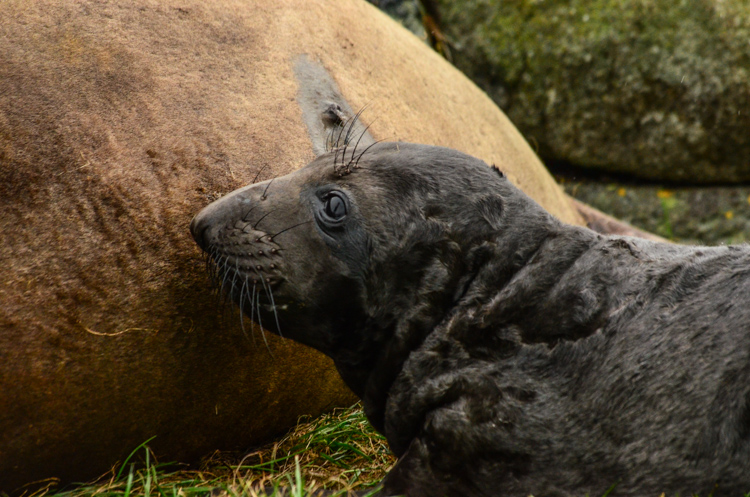 eseal pup day 2-5