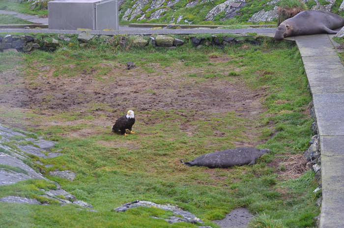 Bald eagle approaching weaner 1