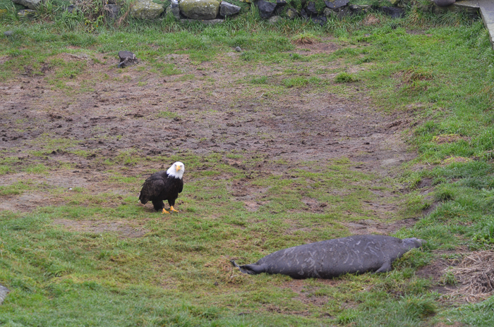 Bald eagle approaching weaner 2