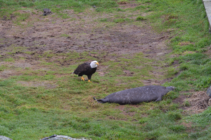 Bald eagle approaching weaner 3