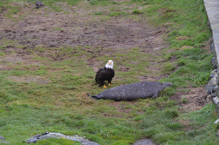 Bald eagle approaching weaner 4