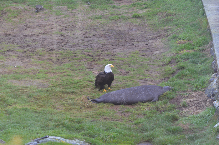 Bald eagle approaching weaner 5