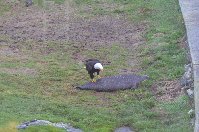 Bald eagle approaching weaner 6
