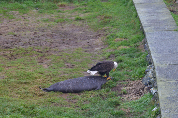 Bald eagle feasting on weaner 1