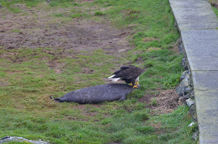 Bald eagle feasting on weaner 2