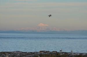 Mt Baker & Gulls