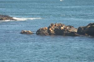Agitated Sea Lions